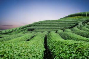 Mit grünem Tee dem Fett den Kampf ansagen?